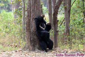 Bandhavgarh National Park Bear Photos