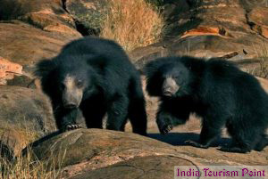 Bandhavgarh National Park Bear Pics