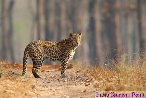 Bandhavgarh National Park Leopard Photos