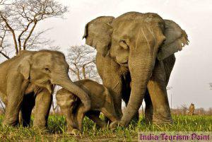 Kaziranga National Park Elephant Photos