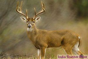 Kaziranga National Park Sambar Dear Images
