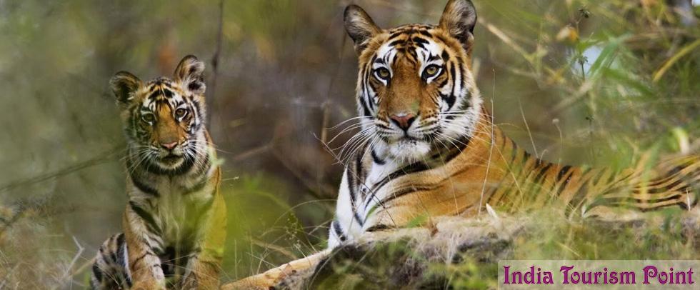 Kaziranga National Park Tourism Tiger Image