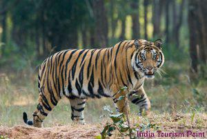 Kaziranga National Park Tiger Images