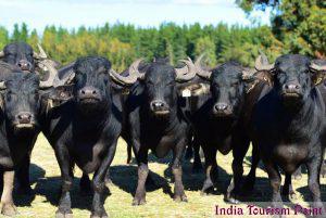 Kaziranga National Park Wild Buffaloes Gallery