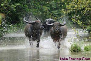 Kaziranga National Park Wild Buffaloes Pics