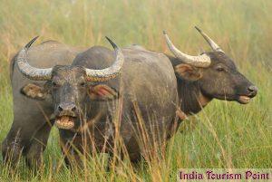 Kaziranga National Park Wild Buffaloes Wallpapers